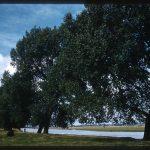 photograph of poplar trees