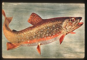 illustration of a brook trout