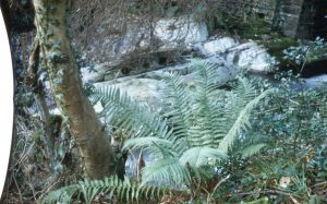 photograph: Isle of Man: Balaglas glen ferns