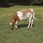 Brinded calf in the grass at St. Beuno's
