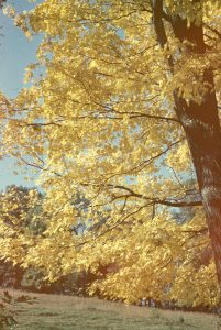 photograph of a golden maple tree